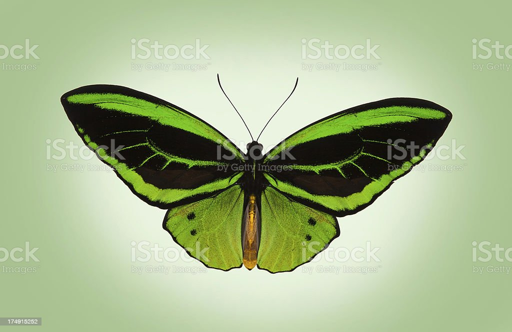 Green and Black striped Butterfly royalty-free stock photo