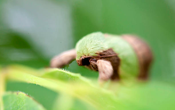 Green And Brown Camouflaged Pecan Tree Moth