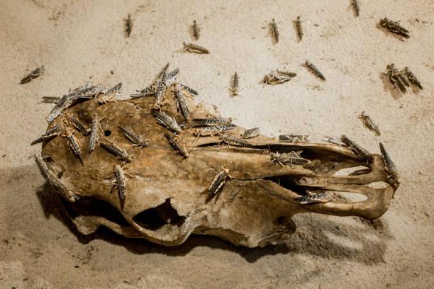 groen en bruin sprinkhanen verblijft op een schedel rooten - locust swarm stockfoto's en -beelden