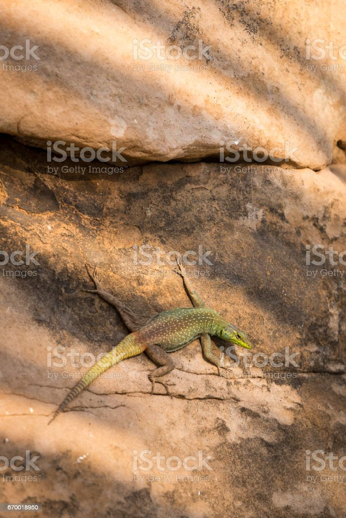 Green and Brwond colored Lizard on Stone, South Africa stock photo