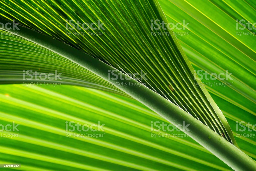 green and fresh palm tree leaves stock photo