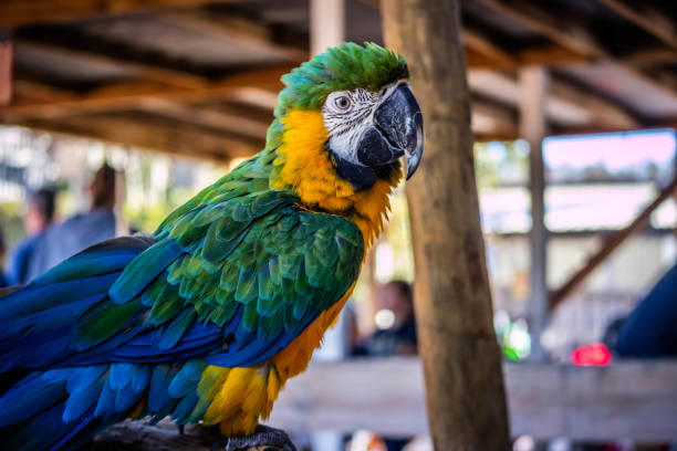 A Green and Gold Macaw in Orlando, Florida stock photo