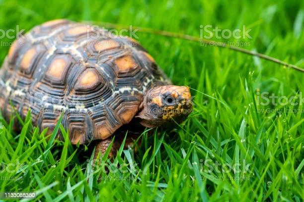 Green and orange jabuti turtle calm on the grass camouflaging with picture id1133088350?b=1&k=6&m=1133088350&s=612x612&h=un4vi9dfj37zfjb4ap2fcszgszarugxwmumgj1eccqs=