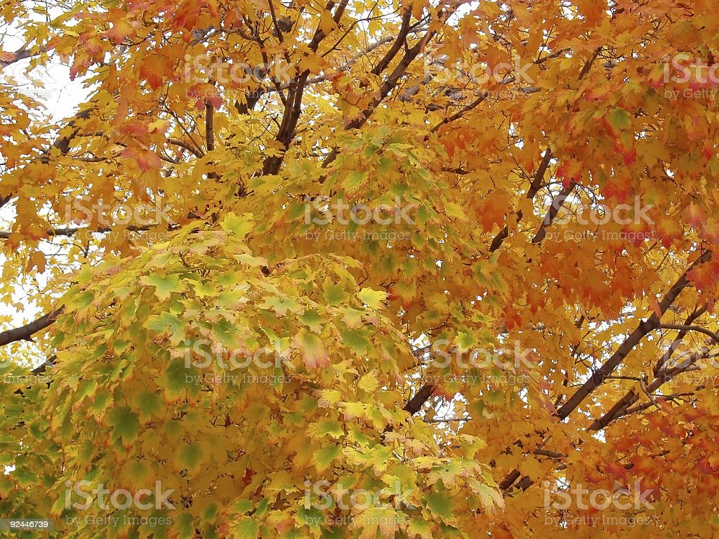 Green and Orange Leaves Changing Color for Fall stock photo