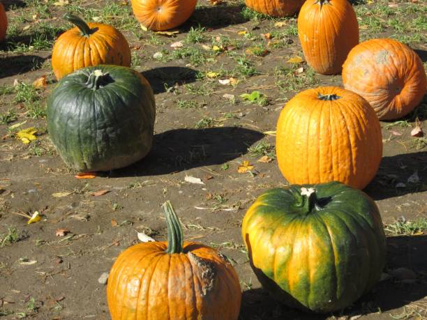 Green and Orange Pumpkins in Sunlight stock photo
