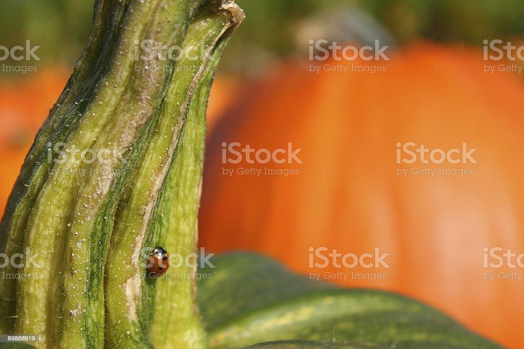 Grün und Orange Kürbisse mit Marienkäfer Lizenzfreies stock-foto