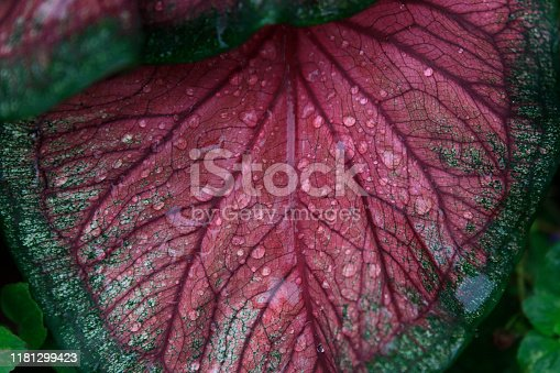 Green and pink coleus close up with rain drops