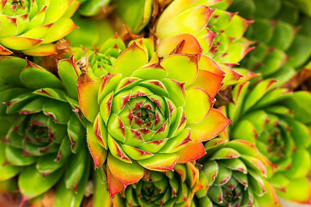 Green and red aeonium succulent plant picture id508957160?b=1&k=6&m=508957160&s=612x612&w=0&h=j8zvxbtnm23zuzxls1rwrp gpm3onveamvoehrvvrsu=