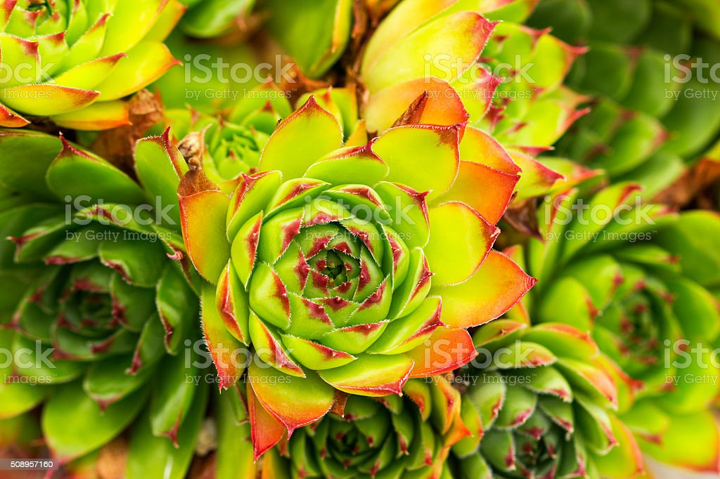 Green and red Aeonium succulent plant stock photo