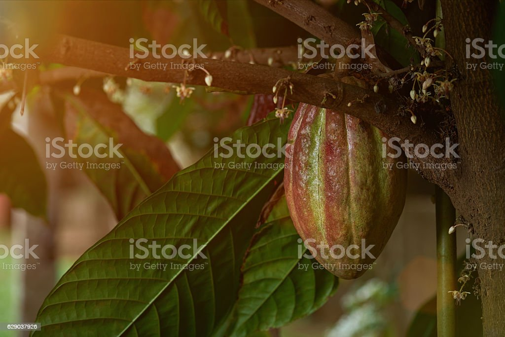 green and red cacao fruit stock photo