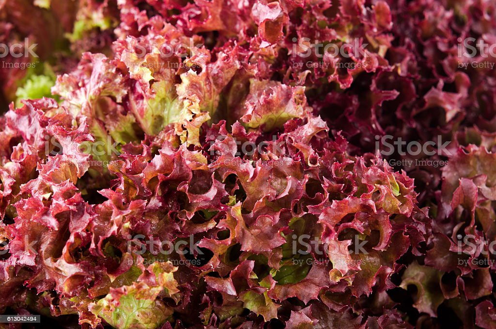 green and red lettuce salad, Lollo Rosso, for backround stock photo
