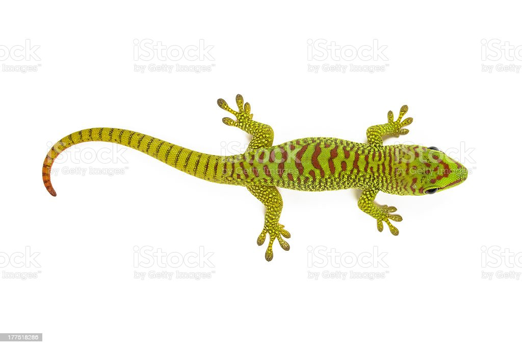Green and red Madagascar day gecko on white background stock photo