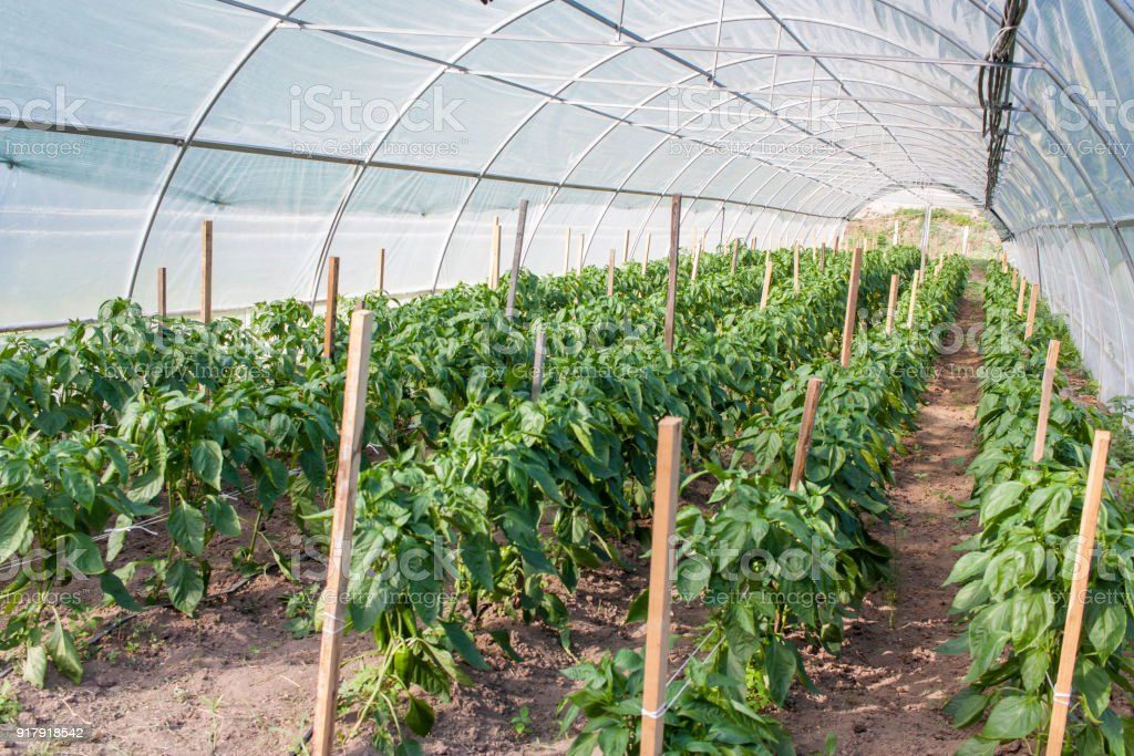 Green and red peppers growing in the greenhouse stock photo