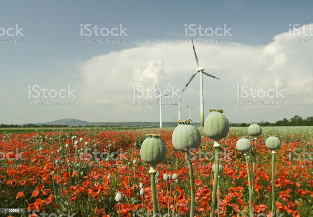 green and red poppy with wind turbines in the background royalty-free stock photo