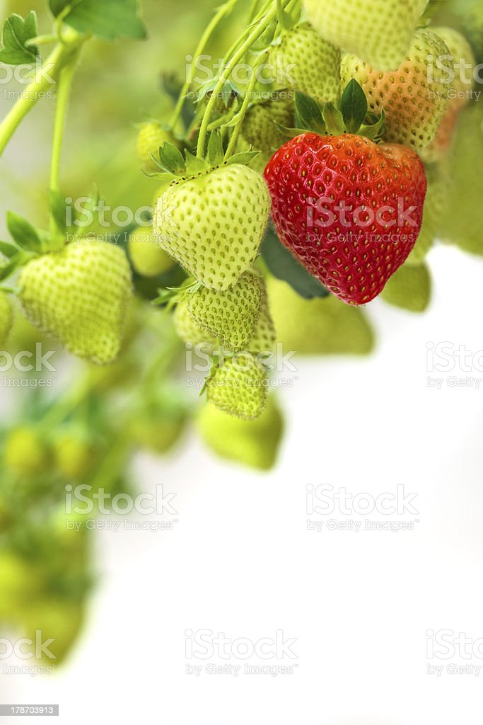 Green and red strawberries against a white background stock photo