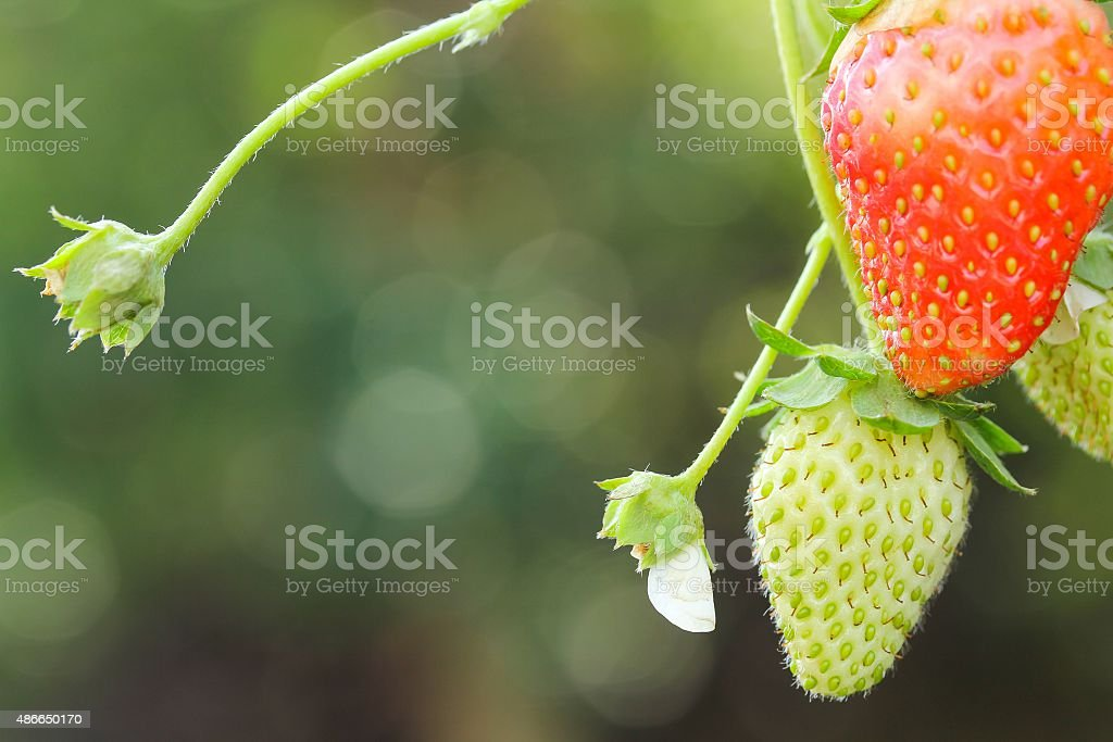 Green and red strawberries on plant stock photo