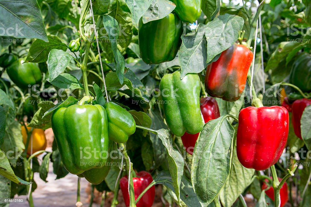 Green And Red Sweet Pepper Tree In Gardenbell Peppers ...