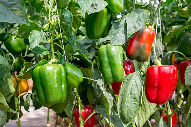 Green and Red Sweet pepper Tree in garden,Bell peppers - foto de acervo