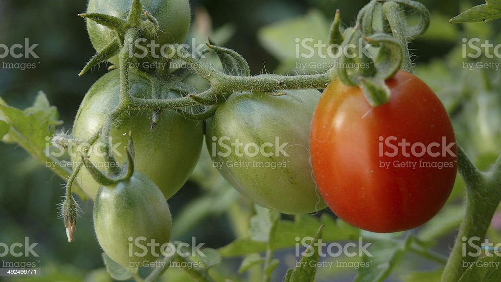 Green And Red Tomato royalty-free stock photo