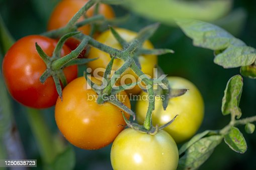 tomatoes field and aging process