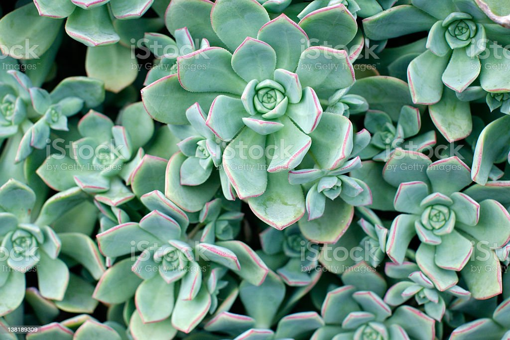 Green and ren Aeonium Succulent plant stock photo