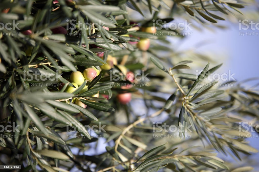 Green and ripe olives hung on the tree stock photo