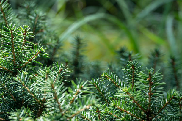 green and silvery spruce needles picea omorika 'karel' - spruce tree stock pictures, royalty-free photos & images