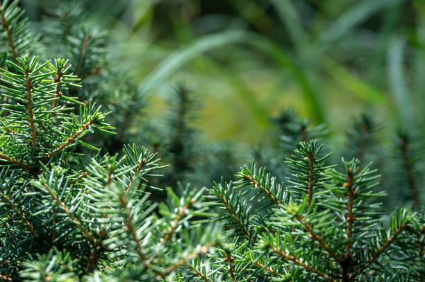 gröna och silvrig gran nålar picea omorika 'karel' - gran bildbanksfoton och bilder