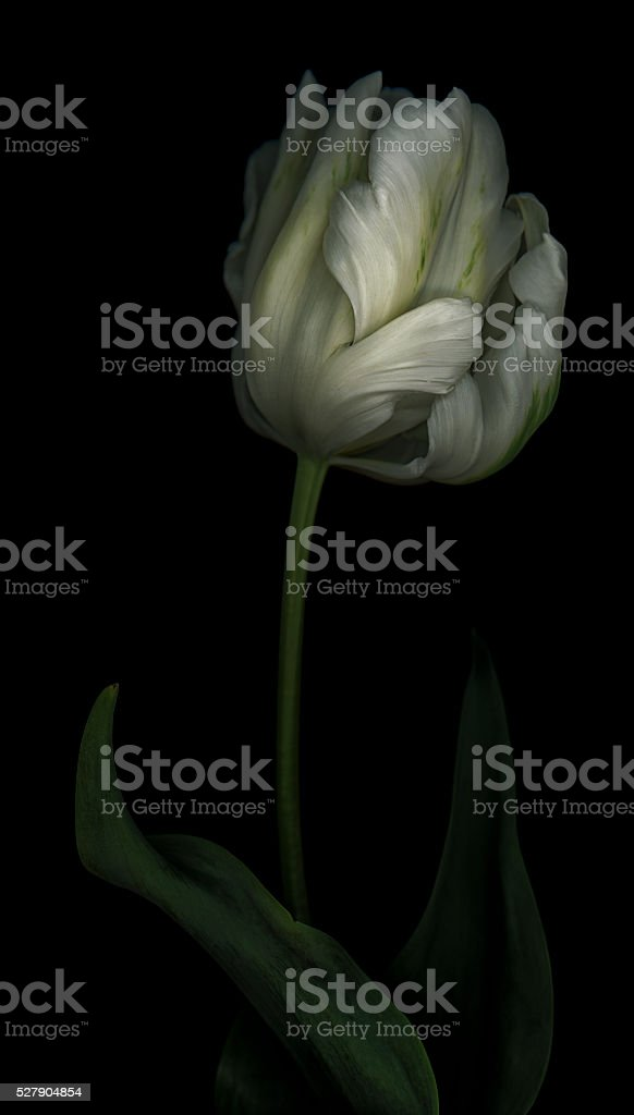 Green and White Parrot Tulip stock photo