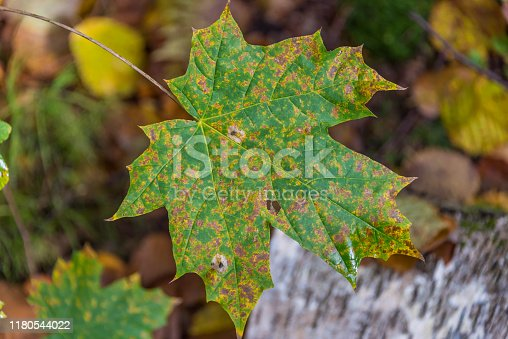 Green and Yellow Autumn Leaf in an Autumn Forest