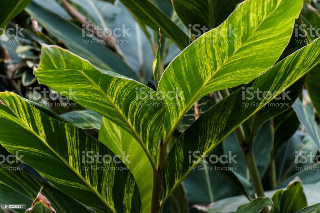 Green And Yellow Leaves Of Tropical Plant Stock Photo Download Image Now Istock The veins remain dark while the tissue between them turns yellow), it's most likely a. green and yellow leaves of tropical plant stock photo download image now istock