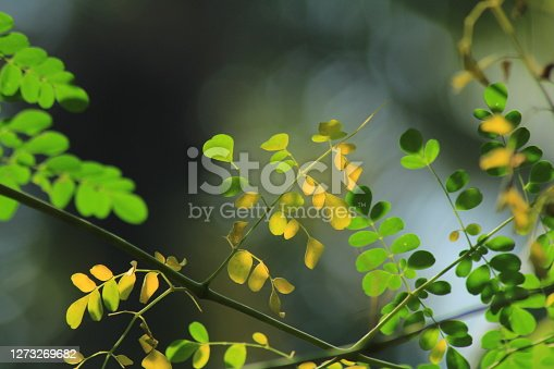 green and yellow leaves on backlight in a tropical rainforst