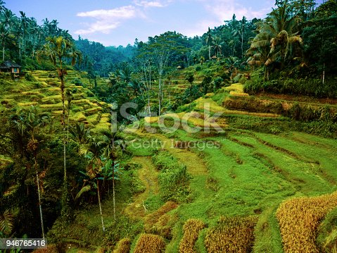 istock Green and yellow rice fields 946765416
