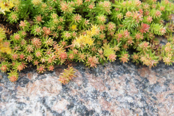 green and yellow sedum plant with granitic rock - granite rock stock photos and pictures
