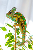 Green and yellow veiled chameleon