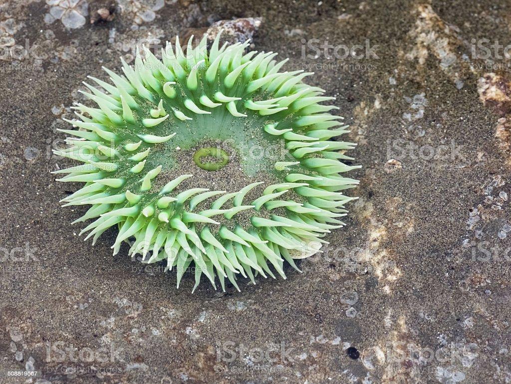 Green Anemone stock photo