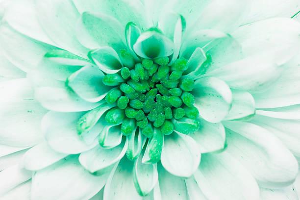 green annealed Chrysanthemum stock photo