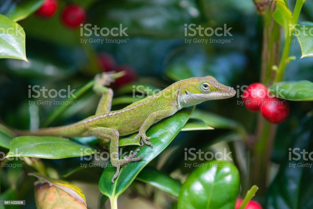 Green Anole lizard (Anolis carolinensis) royalty-free stock photo