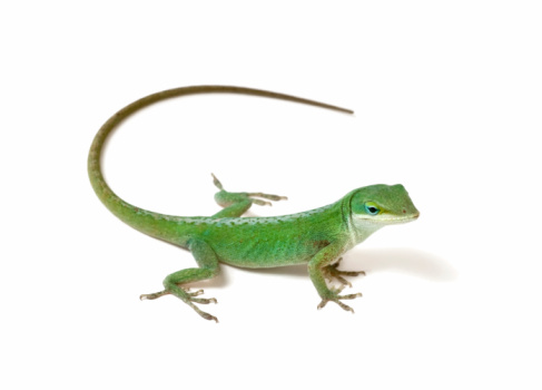 Green anole on white background