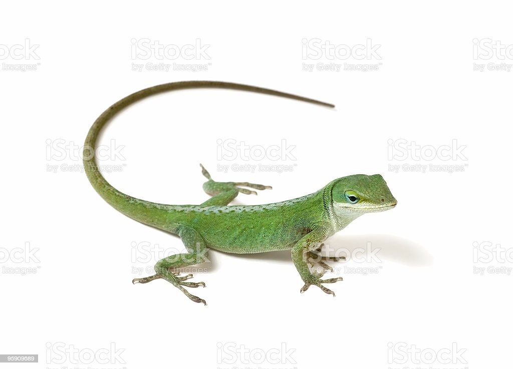 Green anole on white background stock photo