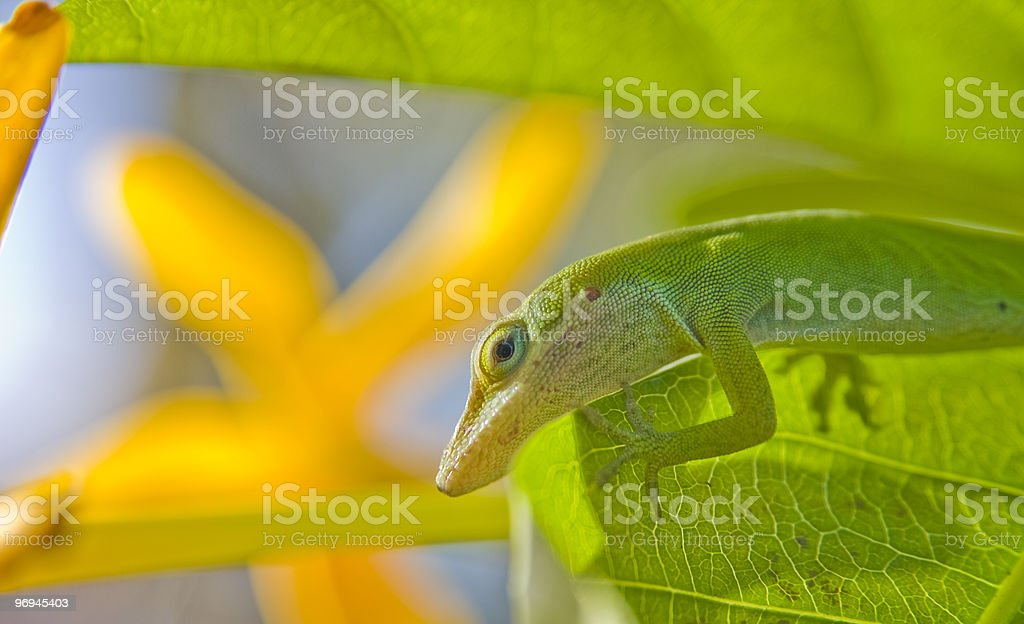 Green Anole profile royalty-free stock photo