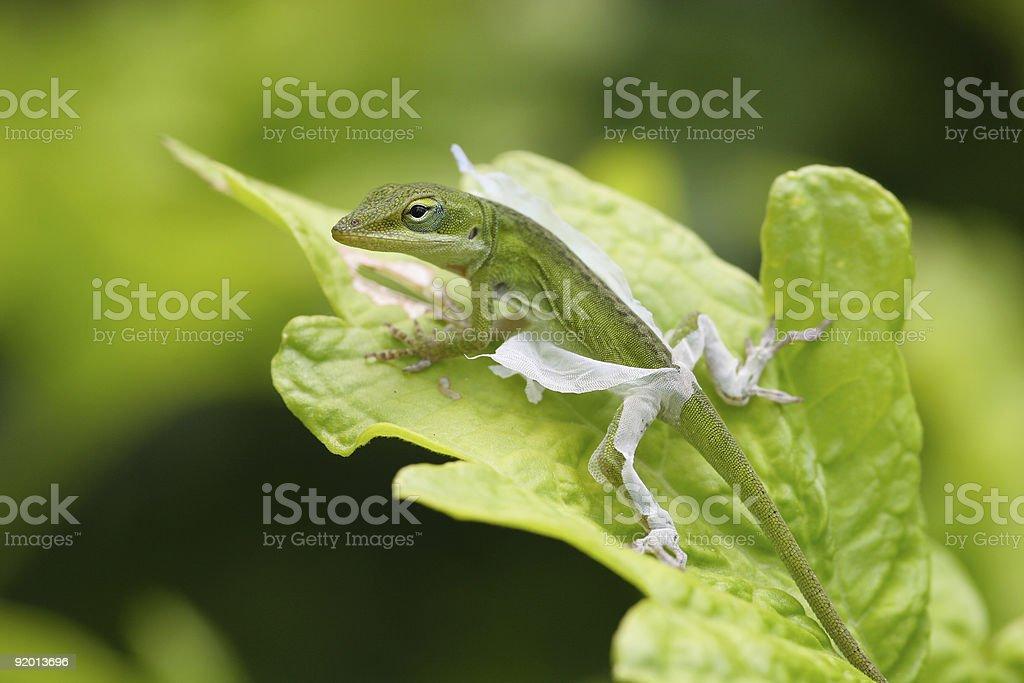 Green Anole shedding stock photo