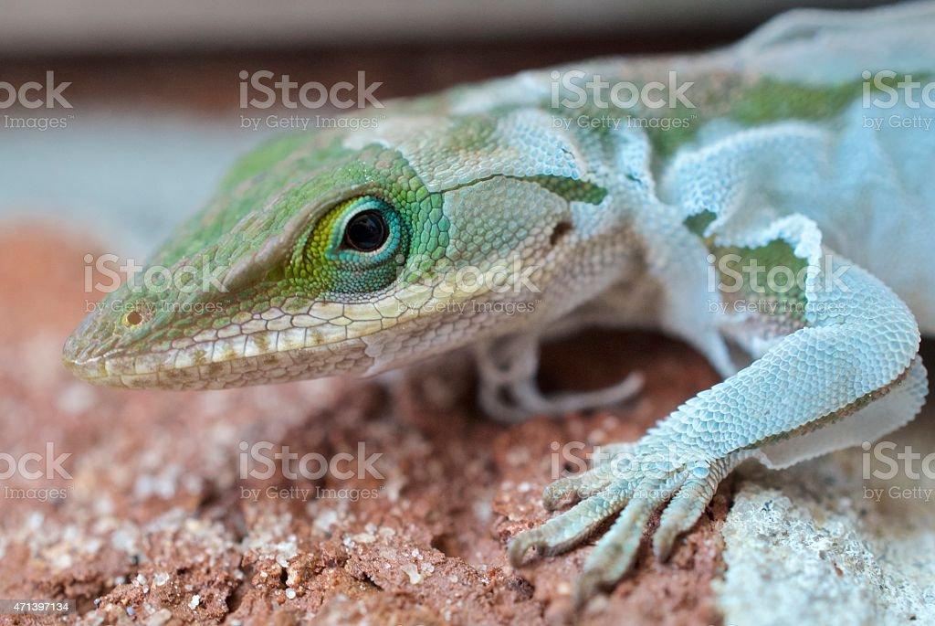 Green Anole Shedding Skin stock photo