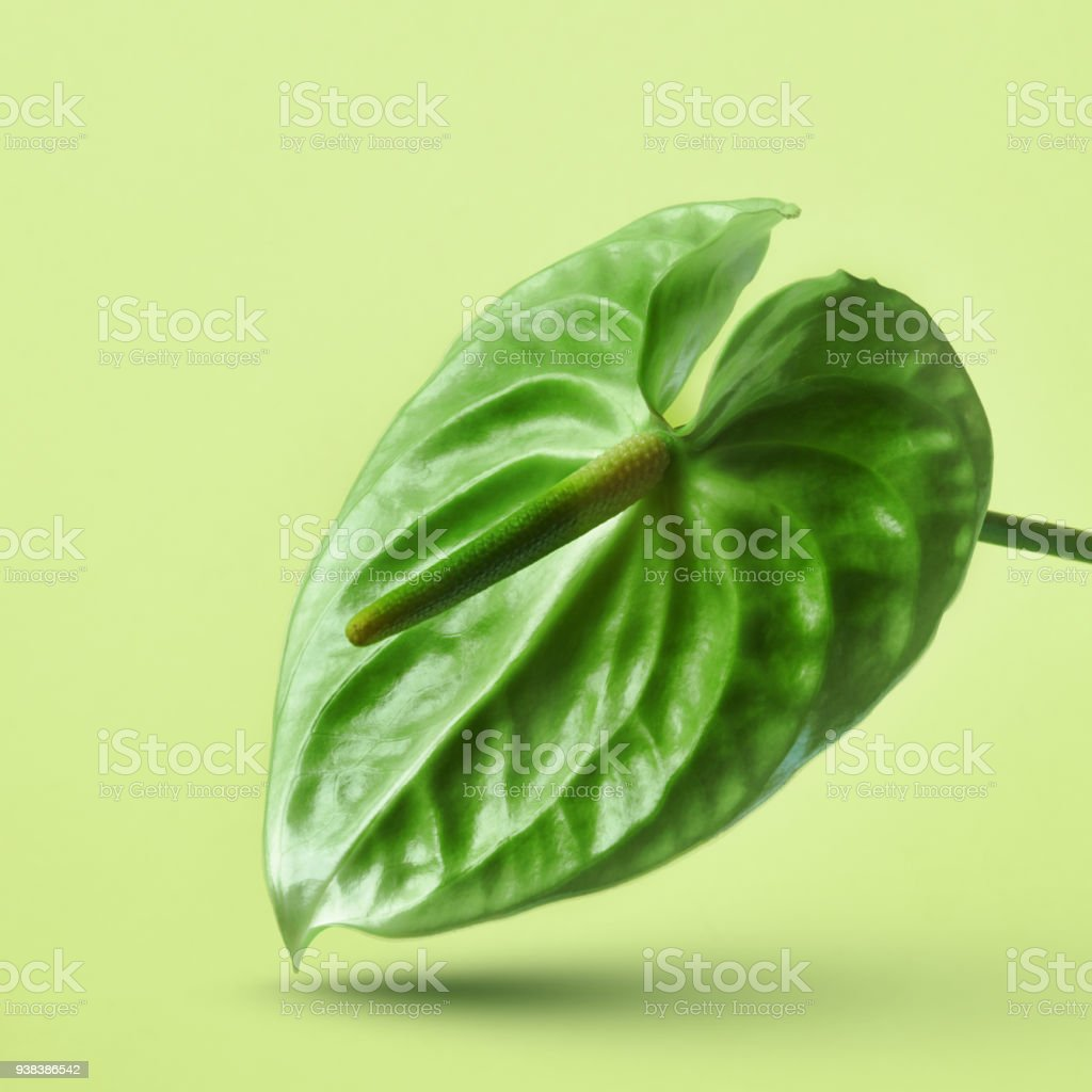 Green anthurium flower isolated on a yellow background stock photo