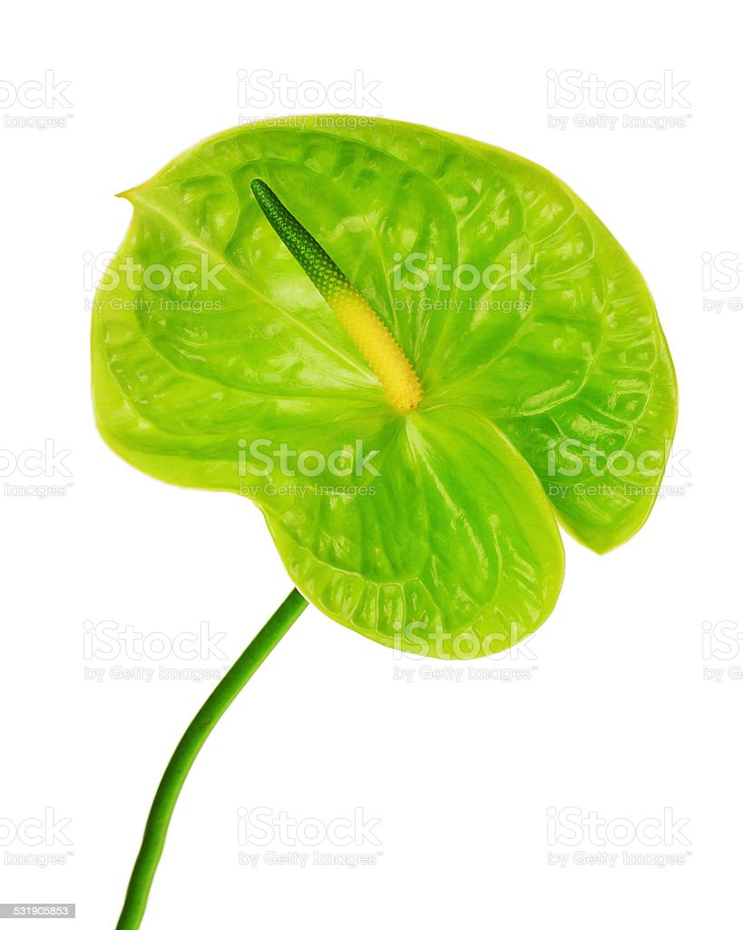Green anthurium isolated on white background. stock photo