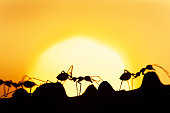 Magical scene of Green Ants walking in a vine on summer dusk, art shape of ants against golden sunset in the background. Social communication concept.