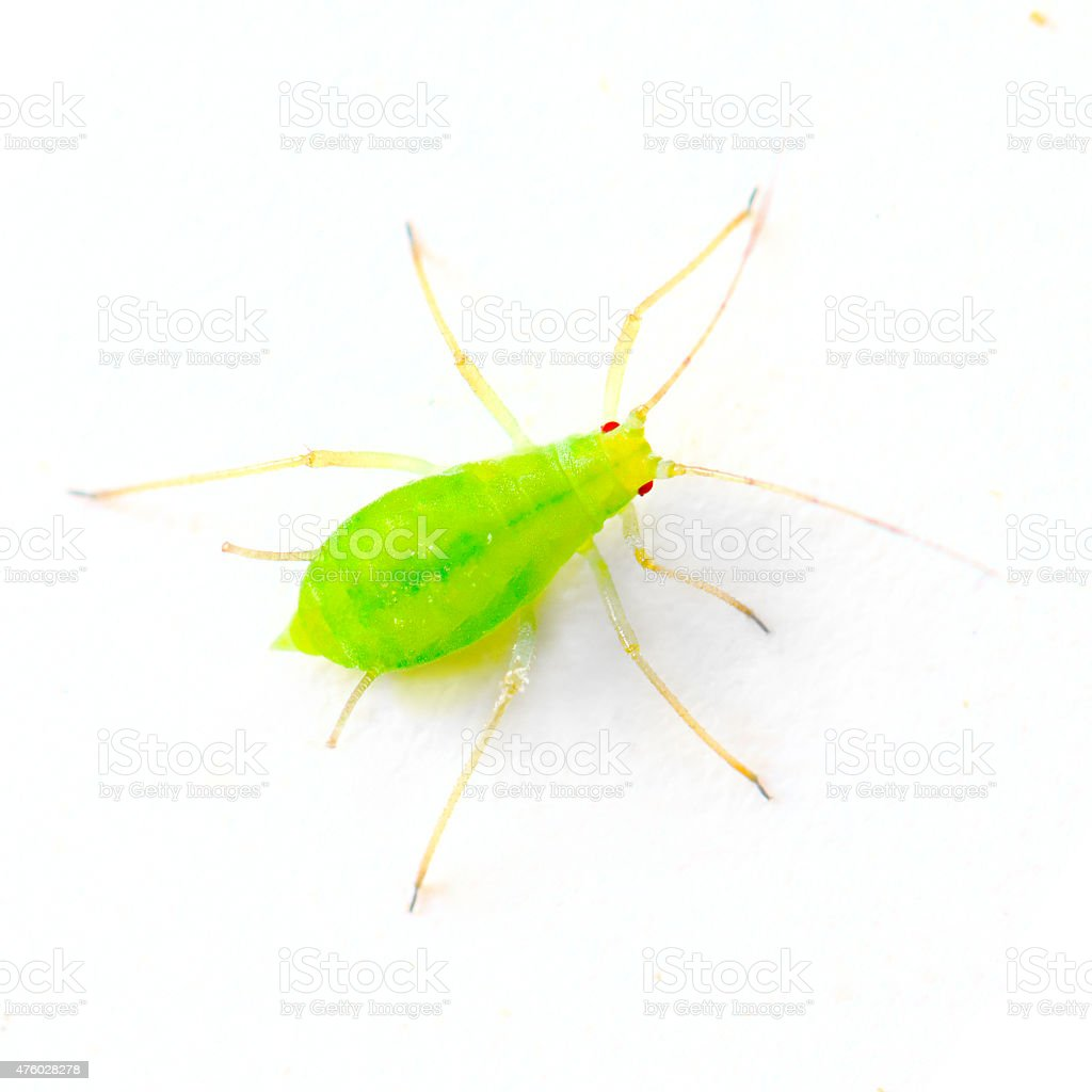 Green aphid. stock photo