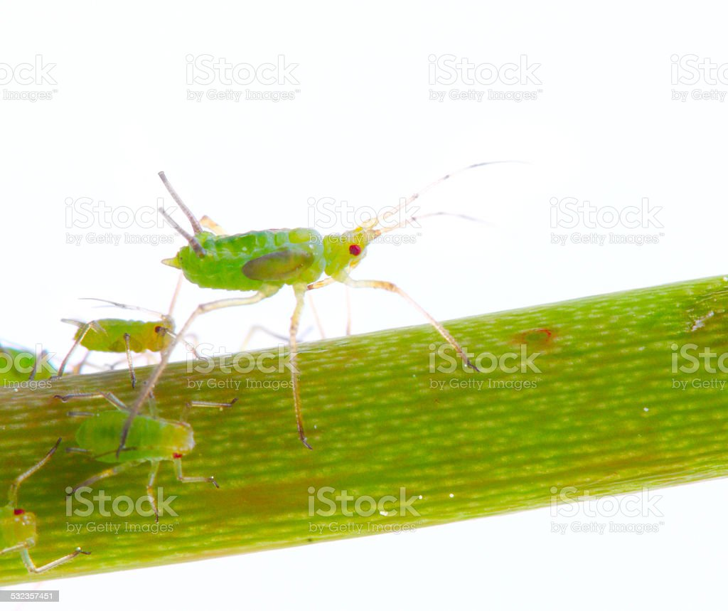 Green Aphid stock photo