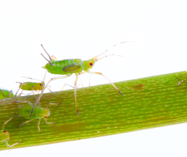 Green Aphid Green Aphids on flower isolated on a white background. aphid stock pictures, royalty-free photos & images