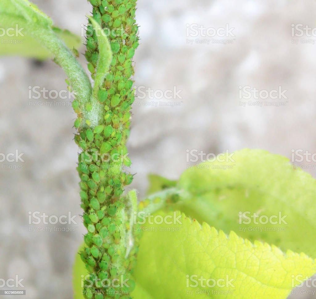Pulgões verdes em uma árvore. - foto de acervo